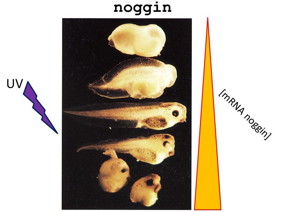 noggin [mRNA noggin] UV